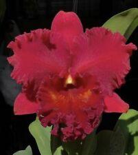 Rlc Aching Ruby 'Red Ribbon' Bs Big Plant 5� Pot (16)
