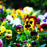 50 Colorful Pansy Seeds Viola Tricolor Herb Trinity Ornamental Garden Flowers