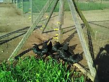 6   PURE AYAM CEMANI Hatching Egg NPIP  (PLEASE SEE DESCRIPTION) **