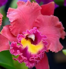 TAINAN CITY SUNSET Cattleya Alliance huge 15cm flower seedling orchid plant 80mm