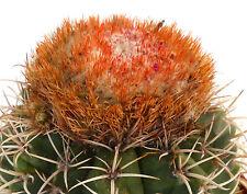 10 Melocactus axiniphorus (Minas Gerias) BRAZIL semi seeds korn semillas rare