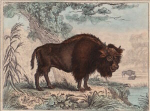 c. 1830 Small Hand Coloured Print of an American Bison and Cape Buffalo Buffon