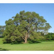 5 Siberian Elm Tree Seeds - Ulmus Pumila