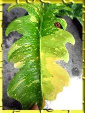 "RARE Philodendron ""Xanadu Variegated Leaf"" Tropical Succulent Plant +Free Philo"