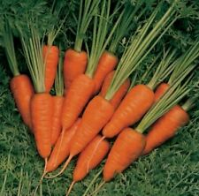 25+ Carrot Seeds | Non-Gmo | Fresh Vegetable Garden Short n Sweet Us Seller