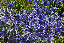New listing Sea Holly 119 Seeds, Amazing Metallic Blue Flowers And Stems *Fantastic*