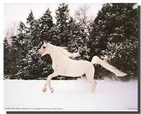 White Stallion Arabian Horse Running in Snow Animal Picture Art Print (8x10)