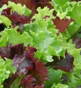 GOURMET SALAD BLEND LETTUCE SEEDS 500+ Healthy GARDEN greens FREE SHIPPING