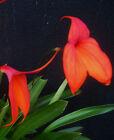 Masdevallia veitchiana var grandiflora 'Prince De Galle' AM/AOS, orchid plant