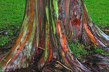 50 Rainbow Tree -Eucalyptus Deglupta- Mindanao Gum, Rainbow Gum Tree Fresh Seeds