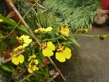 """Orchid. Oncidium """"Gower Ramsey"""". Flowering size plants."""