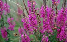 PURPLE LOOSESTRIFE LYTHRUM ROSY GEM 1 GRAM ~ APPROX 23000 SEEDS