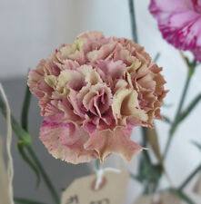 Carnation Seeds - BABYLON - Winter Hardy Perennial - Cut Flowers - 50 Seeds