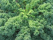 75 Graines BIO de KALE frisé bleu d'Ecosse - Chou Brassica oleracea Superaliment