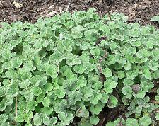 100 White Horehound Marrubium Vulgare Herb Mint Family White Flower Seeds + Gift