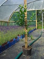 5 Green Privet (Ligustrum Ovalifolium) 2L Pot Hedging Shrubs Plants 60-80cm