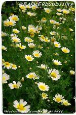 Chrysanthemum coronarium [Syn. Glebionis coronaria] 'Crown Daisy' 50 SEEDS