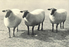 SHEEP. Suffolk Ewes first prize pen, RASE. show, 1907 1912 old antique print