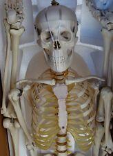 "Model Anatomy Professional Medical Skeleton 67"" 170cm Life Size IT-001 ARTMED"