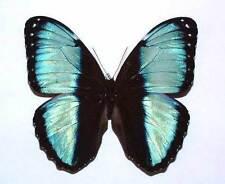 MORPHO HELENOR PAPIRIUS - unmounted butterfly