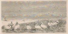 C1246 Pélicans péchant dans un bas-fond - Xilografia - 1867 old engraving