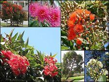 8 Dwarf Flowering Gum Trees Native Garden Plants Corymbia ficifolia Eucalyptus