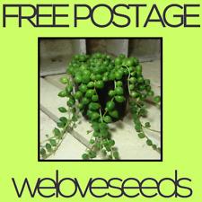 LOCAL AUSSIE STOCK - Green String Of Pearls, Rowleyanus Senecio Plant Seeds ~5x