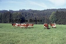 KODACHROME 35mm Slide Texas Longhorn Steers Cows Farm Field Trees Fence 1973!!!