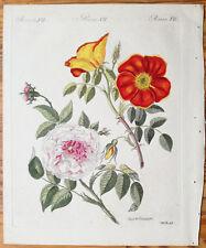 Bertuch Original Colored Print Rose Rosa punicea Rosa truncata - 1790(NS)