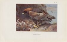 Steinadler Golden eagle (Aquila chrysaetos) FARBDRUCK von 1925 Thorburn