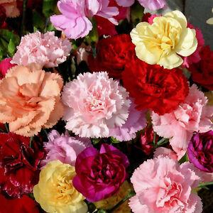CARNATION  - DWARF VIENNA - DIANTHUS CARYOPHYLLUS - 500 SEEDS PERENNIAL FLOWER