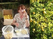 2 Orangenbäume + Erde Set winterhart bewurzelte Jungpflanzen bilden Ableger Deko