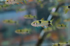 (6) Bucktooth Tetra - Exodon paradoxus - Predator Scale-Eating Fish - Group of 6