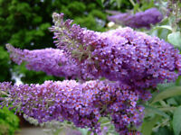 Buddleja davidii Purple Flower seeds perennial from Ukraine