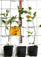 Amelanchier lamarckii - Kupfer - Felsenbirne (Pflanze)