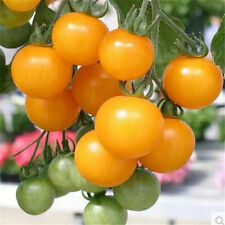 FD1426 Yellow Small Cherry Tomato Seed Lycopersicon esculentum ~1 Pack 30 Seed✿