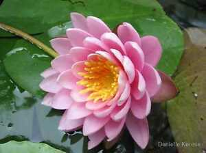 10 PINK WATER LILY Pad Nymphaea Sp Pond Lotus Flower Seeds + Gift & Comb S/H