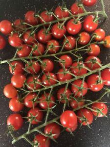 3x Piccolo Plug Plants Cherry Tomato (No Seeds) Garden - Ready Now