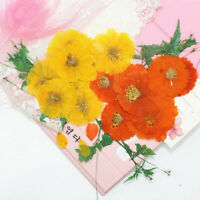 12pcs Real Cosmos Sulphureus Pressed Flowers Dried DIY Art Craft Floral Decor