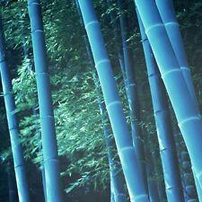 50 Semi di Bambù BLUE Gigante,bambusa, Phyllostachys,bamboo