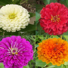 200 ZINNIA Seeds BEAUTIFUL BRIGHT CRISP COLORS TT299