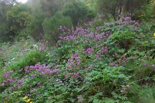 Geranium palmatum AGM x3 Hardy Plant Evergreen ground cover drought toleranplant