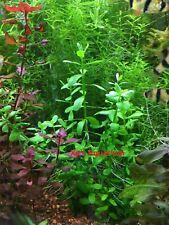 12 x Moneywort, Bacopa monnieri, Live Aquarium/Aquatic Plant