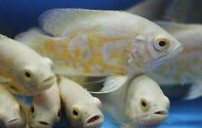 Live Albino Lemon Tiger Oscar Cichlid for fish tank aquarium
