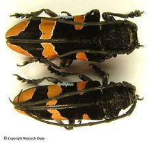 Tragocephala morio - PAIR, beautiful and rare, great!