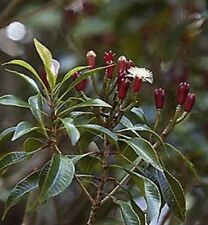 *** nelkenblütenöl, ipecacuana, NATURR. (Syzygium aromaticum) 20ml, tabulazione!!!