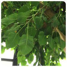 Buddhas Baum des Erwachens Ficus religiosa Pappel-Feige Pipal Bodhi Baum