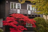 Toller Garten Zierbaum - Feuerahorn - bunte Blätter hohert Zierwert.