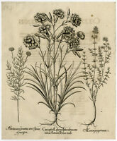 Rare Antique Master Print-CARNATION-THYMUS-LAVENDER-Besler-Custos-1713 ed.