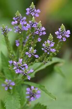 Verbena hastata| Blue Vervain| 500_Seeds FREE SHIPPING TO US